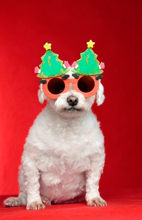 A small white pet dog wearing humorous Christmas glasses.  Red background. Banque d'images