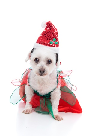 Cute white dog wearing a red and green dress and santa hat for Christmas.  White background. photo