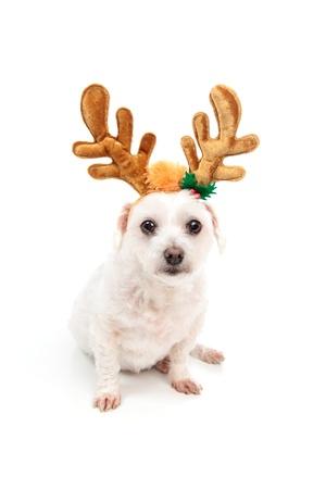 white maltese: A little white maltese terrier sitting down and wearing antler ears decoration.  White background.