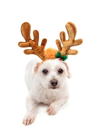 white maltese: A white maltese terrier pet dog wearing reindeer antlers and lying down.  White background.
