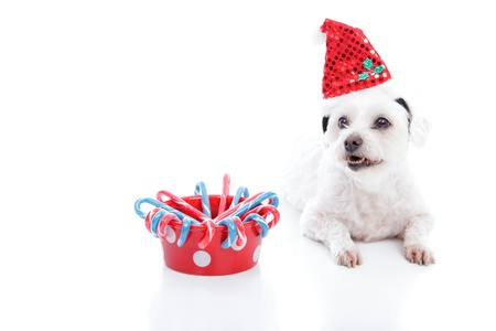 White dog wearing a Christmas santa hat lying beside a red dog bowl with candycanes. With space for copy.  White background. photo