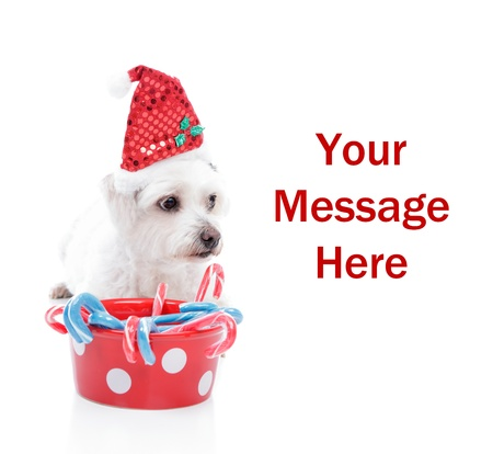 Cute white maltese dog wearing a Christmas hat, with space for your copy. photo