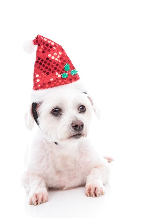 A small white maltese terrier pet dog lying down and wearing a sequin Santa red hat. photo