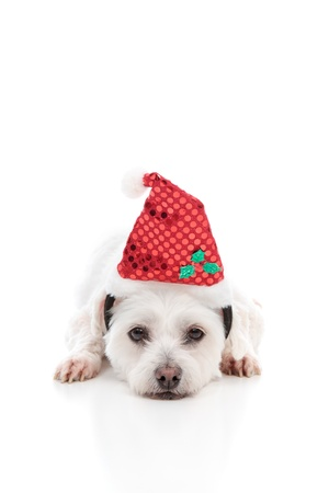 A white puppy dog lying with head resting on ground and wearing a red Christmas Santa hat.  White background. photo