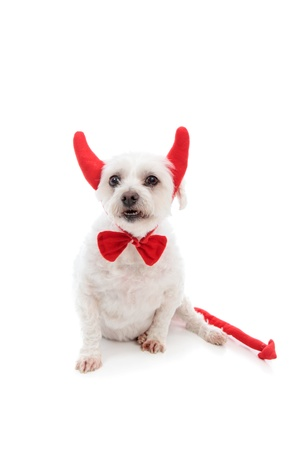 A white maltese terrier dog showing teeth and wearing red devil horns,red bow tie and with a red pointy tail.  White background. photo