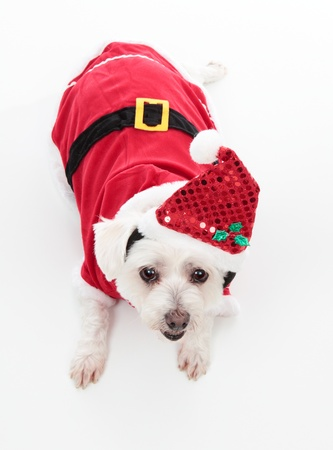 An adorable Christmas pooch wearing a red santa suit.  White Background. photo