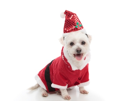 maltese dog: A pet dog dressed in a red coat and santa hat.  White background.