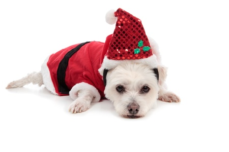 A white maltese terrier wearing a red santa suit and lying down on floor.  photo