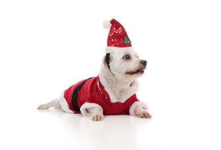 Low angle of a small white maltese wearing a red santa coat and hat.  Dog is looking sideways at perhaps your message.  White background. photo