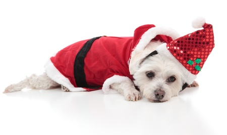 A small whtie dog wearing a santa costume for Christmas.   White background. photo