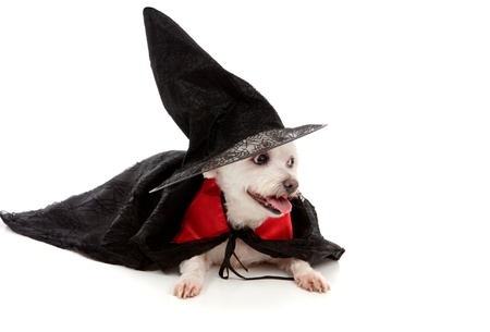 A maltese terrier dressed in fancy dress costume as a wizard or witch.  White background. photo
