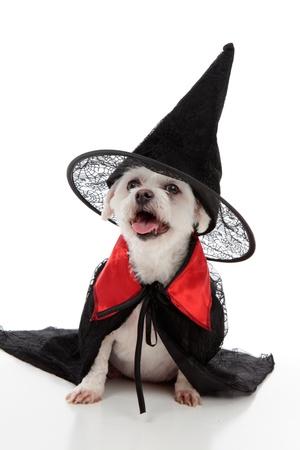 Ein unheimlich böse Hexe oder ein Zauberer Hund trägt einen schwarzen Hexen Hut und schwarzem Mantel. Weißer Hintergrund. Standard-Bild