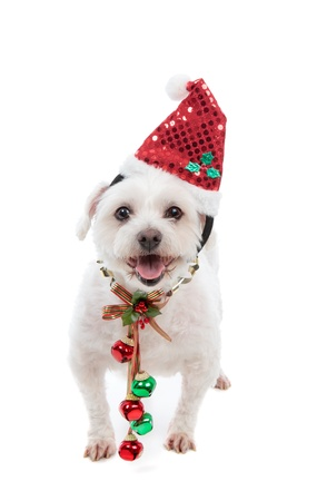 white maltese: An adorable white maltese dog standing with pretty red and green jingle bells tied to decorative festive ribbon decoration.  White background. Stock Photo