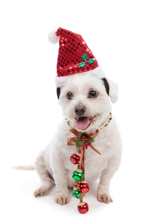 Christmas pooch wearing a santa hat and red and green jingle bells attached to festive ribbon around neck.  White background. photo