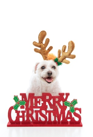 A happy pet dog wearing reindeer antlers stands behind a Merry Christmas message.  White background. Stock Photo