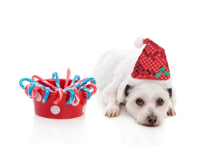 A cute white dog with a bowl of Christmas treats.  White background. photo