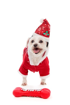 A happy dog wearing a Santa Claus costume with a red Hohoho bone dog toy on the floor. photo