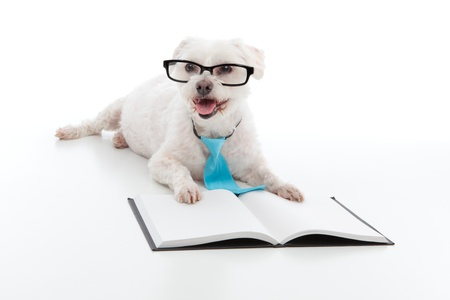 Adorable white dog lying in front of an open book, wearing black rim glasses and a blue tie and is studying or reading or learning, concept.  White background. photo