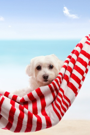 towel beach: Adorable white maltese terrier relaxing by the beach in summer vacation.