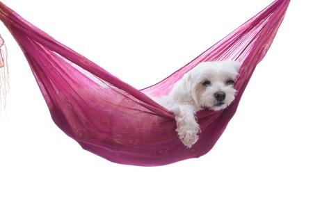 Hanging Around einem Malteser Hündchen ruht comfortablly in einer Hängematte Schlinge Weisser Hintergrund Standard-Bild