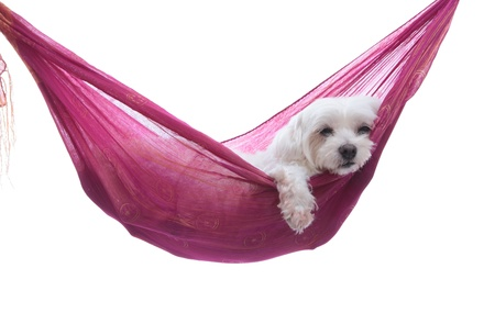 Hanging Around  A maltese puppy dog  resting comfortablly in a hammock sling   White background