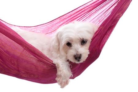 relaxes: Cachorro de perro mimado se relaja en una bonita hamaca oro rosa p�rpura Foto de archivo