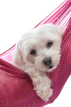An adorable white maltese terrier very relaxed or sleepy   White background  Stock Photo