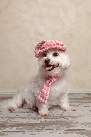 Adorable trendy little dog wearing a pink houndstooth cap and matching scarf is sitting on an old wooden floor Stock Photo - 13088957