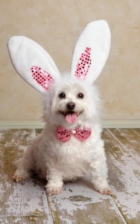 Perrito lindo vistiendo orejas de conejo y una corbata a juego de lentejuelas de proa en un entorno rústico. Apto para Semana Santa o Halloween de disfraces.