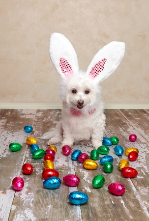 A cute little dog dressed as easter bunny looking down at lots of delicious foil wrapped chocolate easter eggs  photo