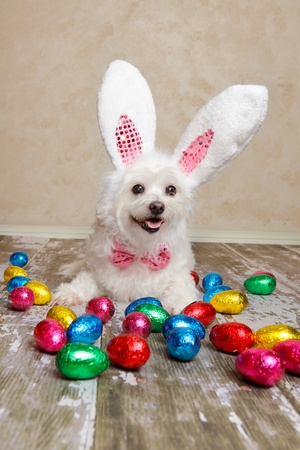 An easter bunny dog surrounded by various colourful foil wrapped chocolate easter eggs.