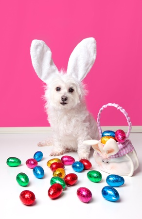 An adorable dog wearing bunny ears and surrounded by lots of colourful easter eggs. Stock Photo