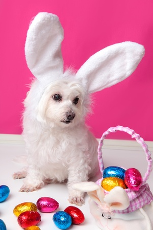 An adorable white puppy dog sits among easter eggs.  Pink background.