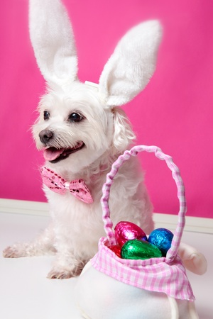 ful: Happy dog wearing bunny ears sits beside a bag ful of easter egg chocolates. Stock Photo