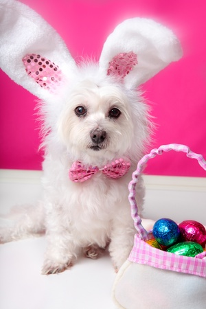 A dog wearing bunny ears sits beside a bag ful of delicious easter eggs. Pink background. Closeup