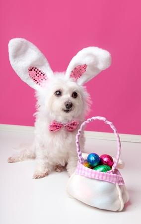 A cute  little dog with rabbit bunny ears sitting beside a bag of assorted easter eggs.  Pink background. photo