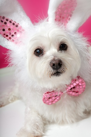 fancy dress costume: An adorable little dog with soft white fluffy fur, wearing sequin bunny ears and matching sequin bow tie.  Closeup.