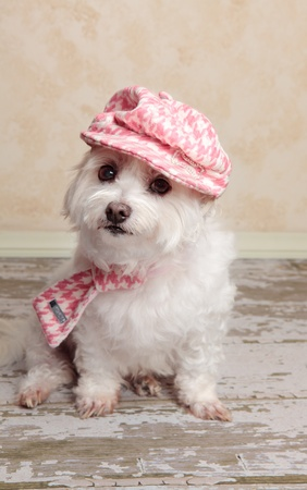A cute little dog wearing trendy country style fashion, sits on a distressed wooden floor.