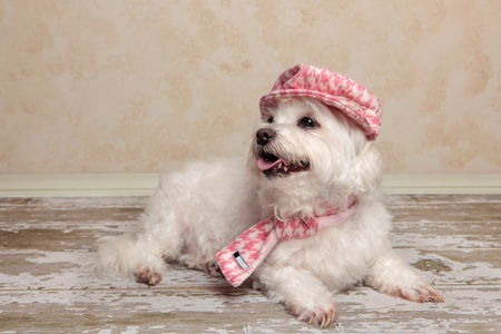 A maltese terrier relaxes on a rustic timber floor. Stock Photo - 13189773