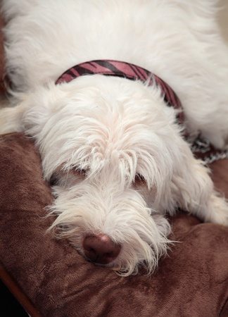 A beautiful italian spinone lying lazily on a comfy brown rug. He has a long shaggy fuzzy coat.  This breed dates back to 500bc. Stock Photo - 13189787