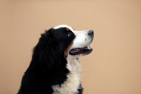 bernese dog: A happy Bernese mountain dog obediently sitting and looking up.