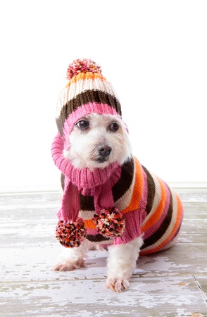 Adorable little dog wearing a striped turtleneck knitted sweater, matching scarf with pom poms and beanie to keep warm during chilly winter.   photo