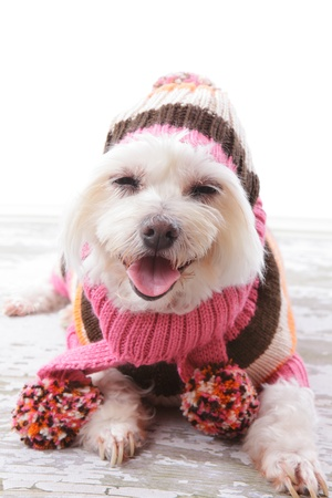 maltese dog: Happy dog wearing a warm woollen turtleneck sweater, scarf and matching beanie hat with pom poms in colours of pink, orange, white and brown.