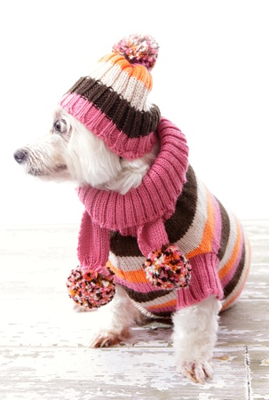 Dog weearing warm winter striped sweater, beanie and matching scarf looking sideways.