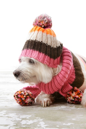 A beautiful dog keeps warm in warm woollen knitted sweater, hat and scarf. photo