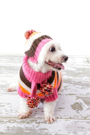 sueteres: Perro mimado hermosa con una bufanda, jersey y gorro a juego en colores brillantes y cálidos.
