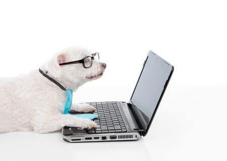 maltese dog: A smart dog or savvy shopper dog using the laptop and or internet