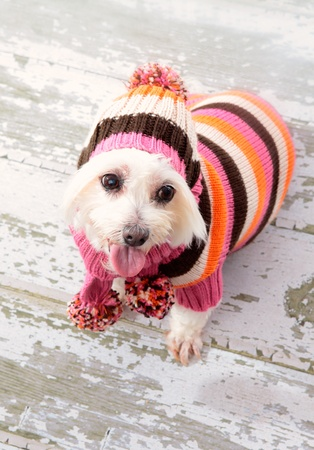 A small maltese terrier wearing winter fashion and sitting on old timber floorboards. photo