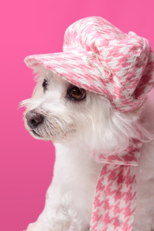 Beautiful pampered dog wearing trendy doggy fashion matching hat and scarf. Stock Photo - 13654997
