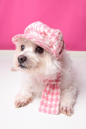 pooch: A pampered pooch wearing pink houndstooth cap and matching scarf.